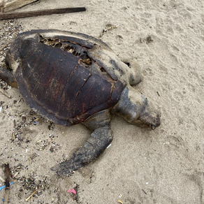 Stranded turtle in Legian