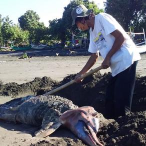 Dolphin stranding in Perancak
