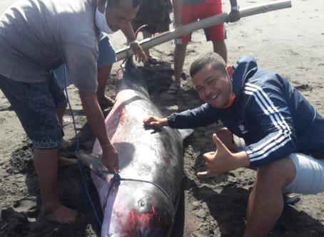 Kogia sima stranded in Sanur