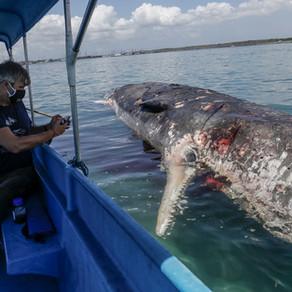 Sperm whale stranded