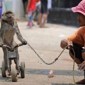 We assisted in the release of 40 ex dancing monkeys together with Jakarta Animal Aid Network