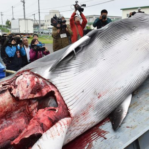 Westerlaken foundation condemns Japan's decision on whaling.