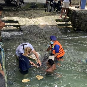 Dolphin stranding in Benoa