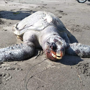 Another Olive Ridley turtle found dead in Perancak