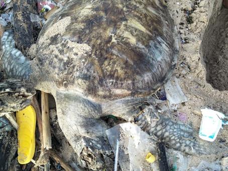 Dead turtles in Kedonganan