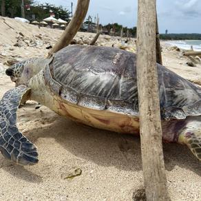 Stranded turtle in Kedongonan