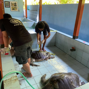 28 known turtle strandings since January 2021