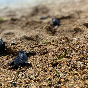 8 turtles and 100 baby turtles released!