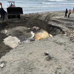 Brydes whale stranded in Batubelig