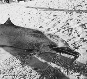 Spotted dolphin stranded on Mengiat beach.