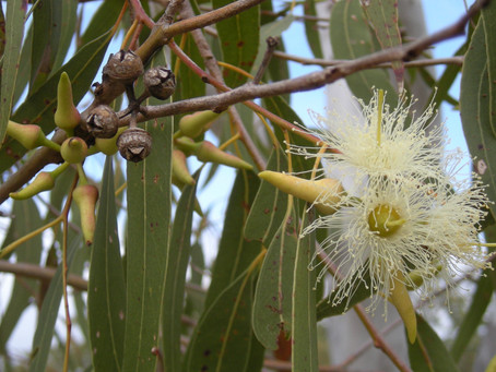 Garnering Gold From Gumtrees