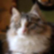 maravilhosa gatinha Bosque da Noruega