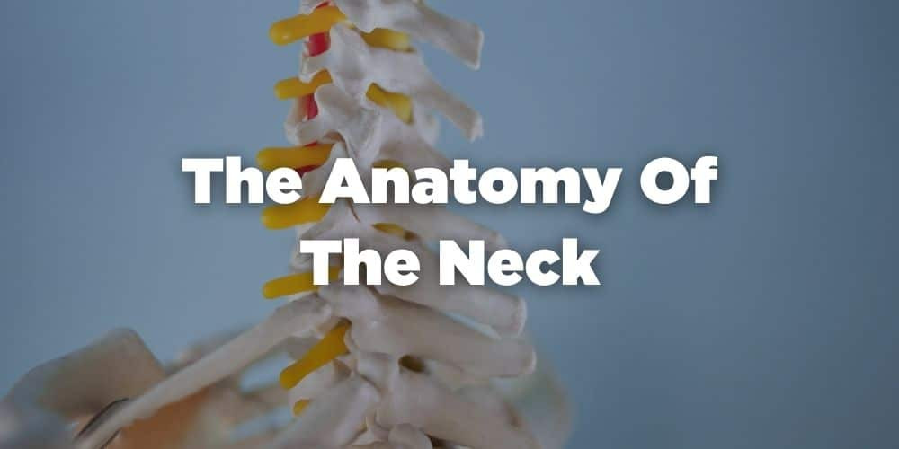 The anatomy of the neck