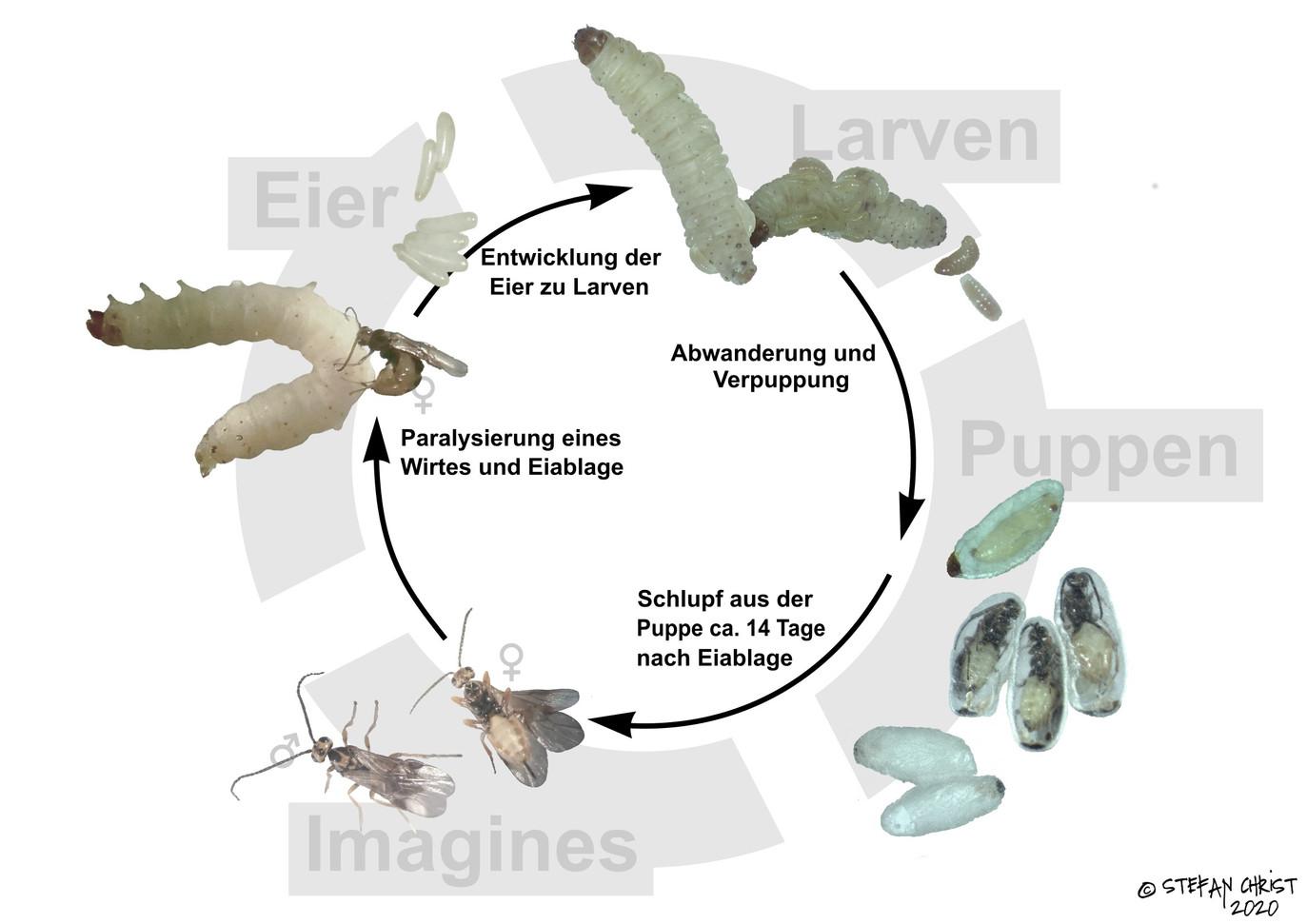 II-LebensZyklusSchema.jpg
