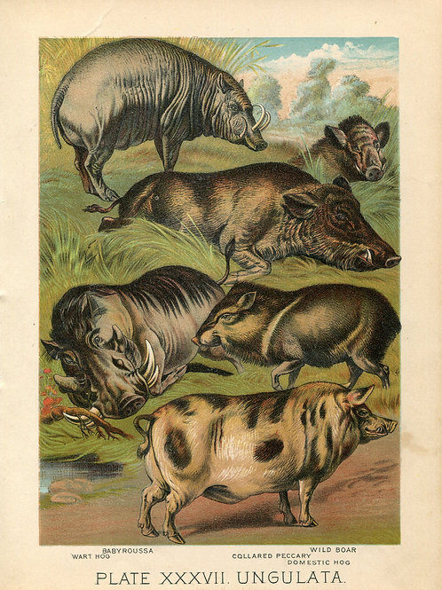Antique Print of Pigs, Wild Boars Color Lithograph 1880s Johnson's Household Boo