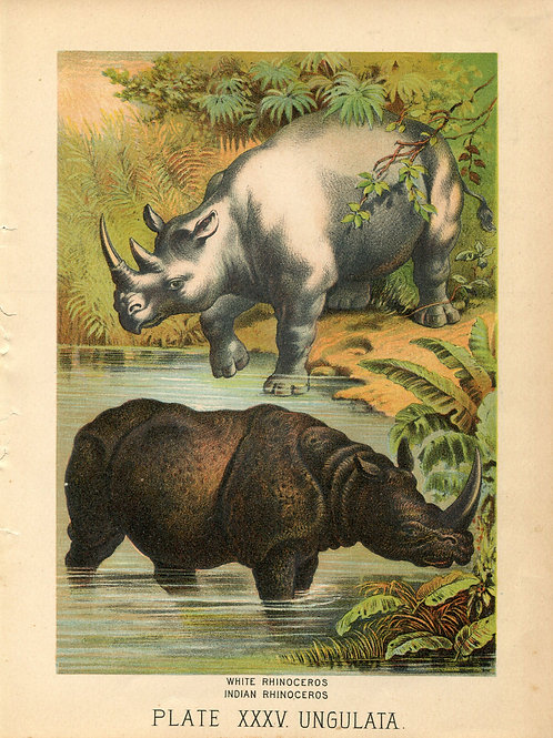 Antique Print of Rhinos Rhinoceros Color Lithograph 1880s Johnson's Household Bo