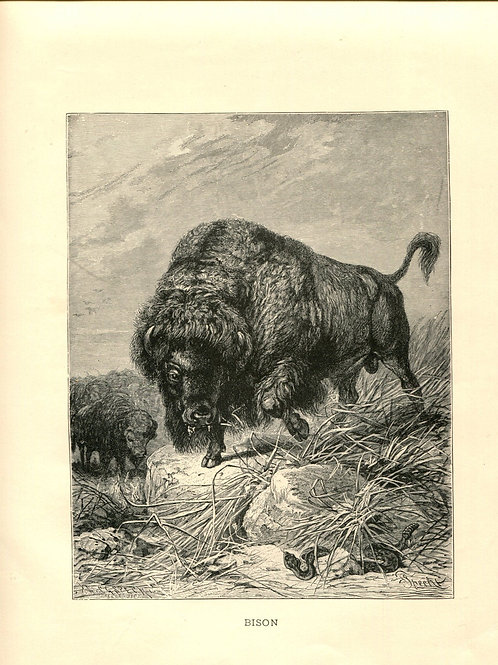 Antique Victorian Engraving Print of Bison Buffalo 1880s
