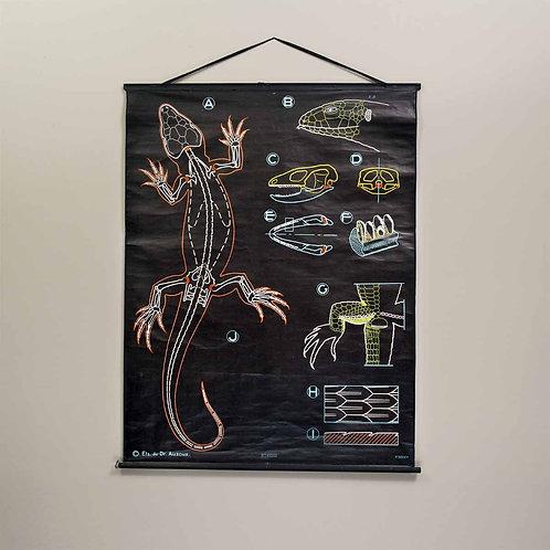 Dr. Auzoux Chalk Plate Lizard Educational Classroom Chart