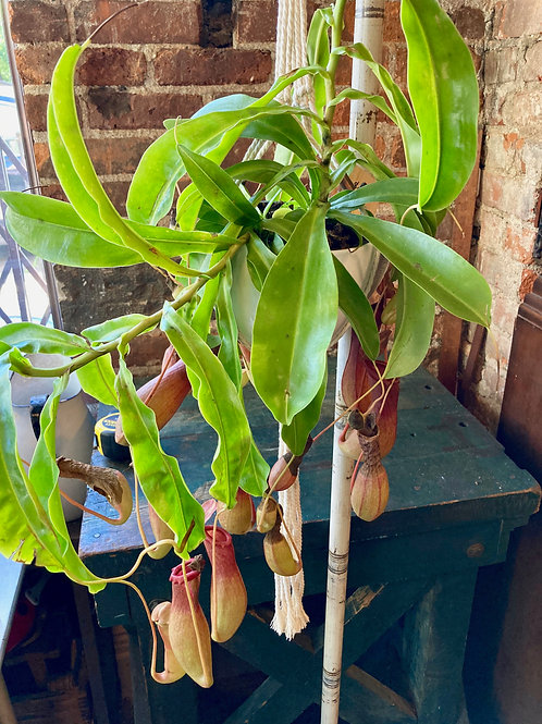 Carniverous Pitcher Plant (Nepenthe) in Hanging Ceramic and Macrame Pot
