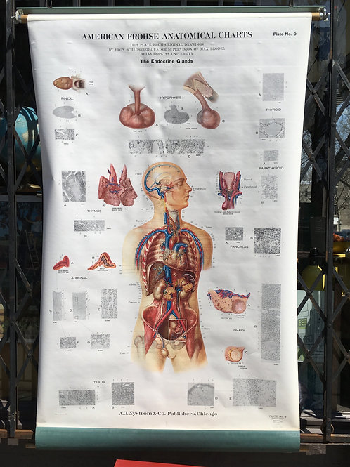 Vintage Frohse Anatomical Classroom Chart of the Endocrine System