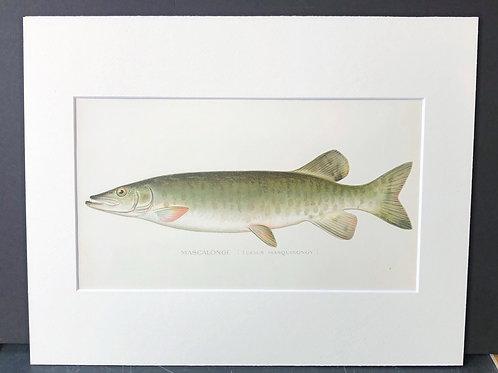 Denton Fish: Mascalonge