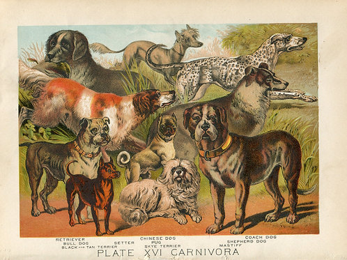 Antique Print of Dogs- Pug, Retriever, Mastiff, Bull Dog Color Lithograph 1880s