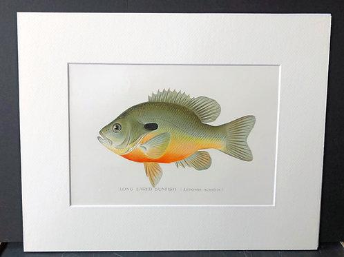 Denton Fish: Sun Fish