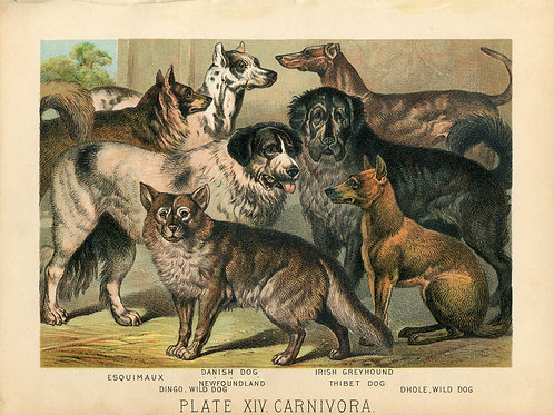 Antique Print of Dogs- Greyhound, Dingo, Tibetan Mastiff Color Lithograph 1880s
