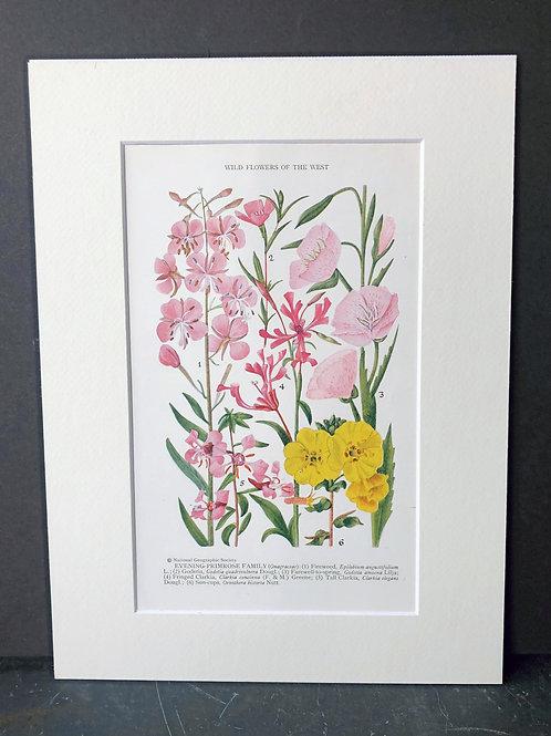 Wildflowers of the West: Evening Primrose