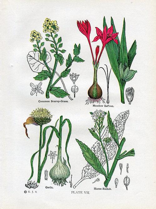Antique Print of Medicinal Herbs, Saffron, Garlic, Scurvy Grass and Horse Radish