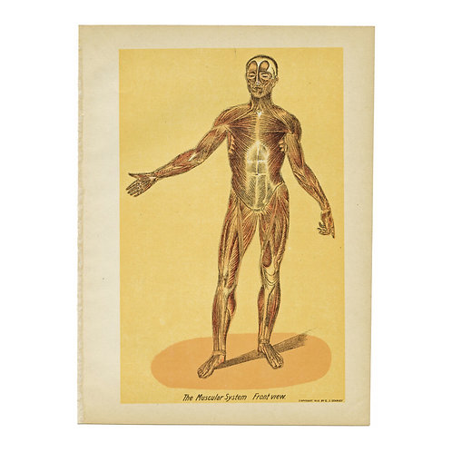Antique Anatomical Plate of the Muscular System