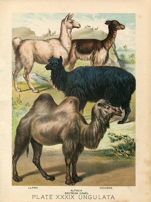 Antique Print of Llama, Vicuna, Alpaca, Camel Color Lithograph 1880s Johnson's H