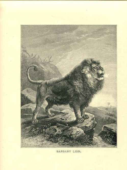 Antique Victorian Engraving Print of Lion Barbary Lion 1880s
