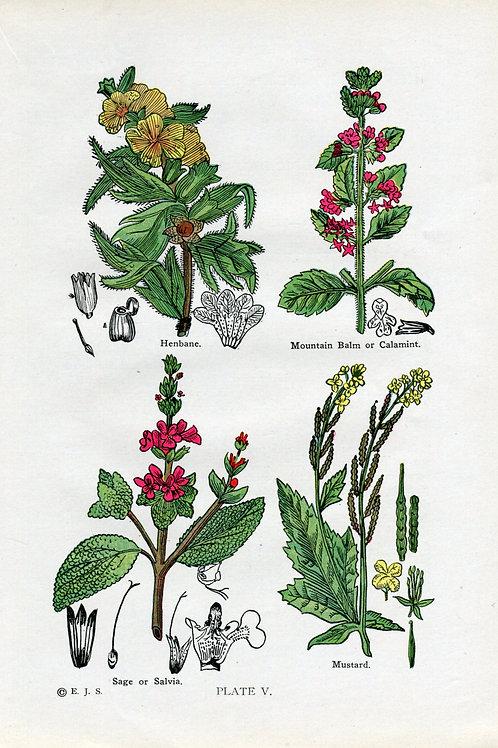 Antique Print of Medicinal Herbs, Henbane, Calamint, Sage, Mustard