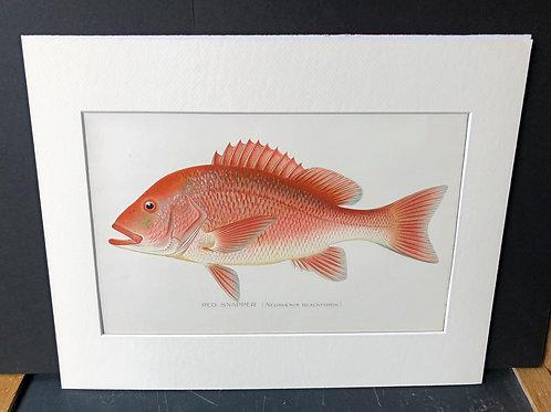 Denton Fish: Red Snapper