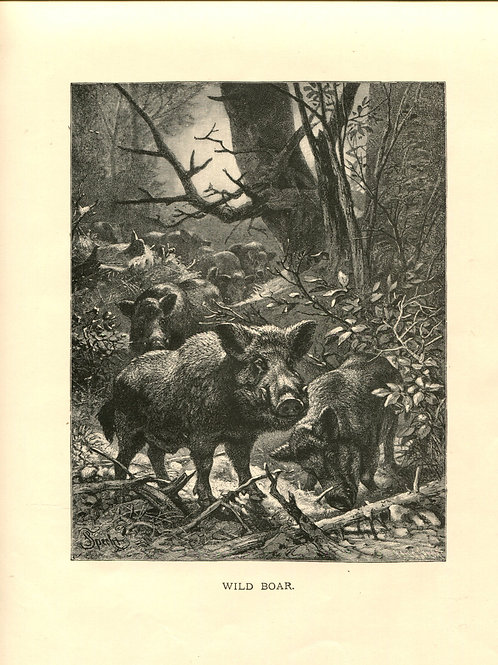 Antique Victorian Engraving Print of Wild Boar 1880s