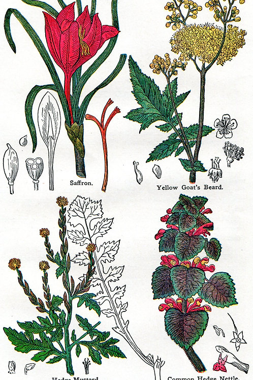 Antique Print of Medicinal Herbs, Saffron, Goat's Beard, Nettle and Mustard