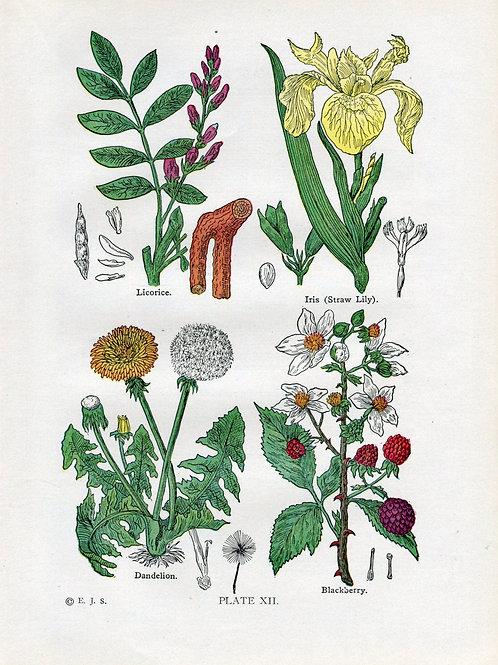 Antique Print of Medicinal and Culinary Herbs, Licorice, Iris, Dandelion, Blackb