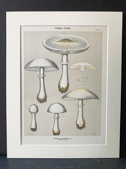 Edible fungi of New York, 1895-99: Smooth Lepiota