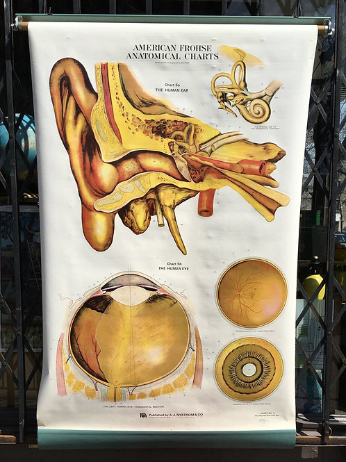 Vintage Frohse Anatomical Classroom Chart of the Eye & Ear