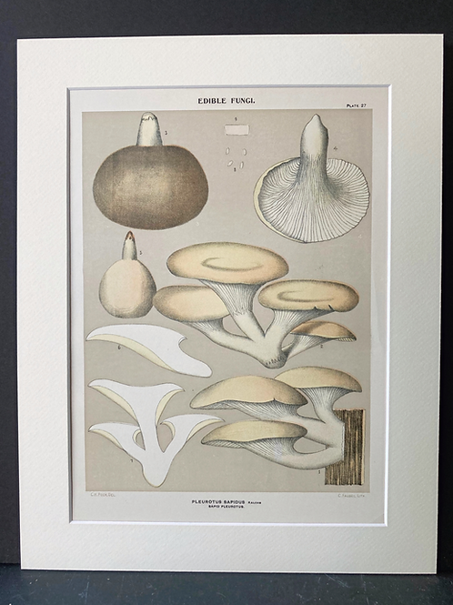 Edible fungi of New York, 1895-99: Oyster Mushrooms