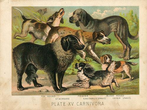 Antique Print of Dogs- St Bernard, Pointer, Spaniels Color Lithograph 1880s John