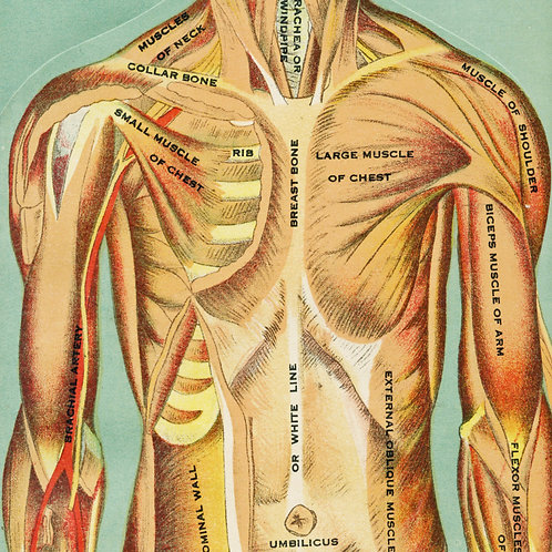 Antique Interactive Manikin Print of the Chest and Torso