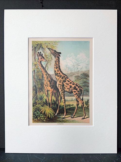 Johnson's Animals: Giraffes