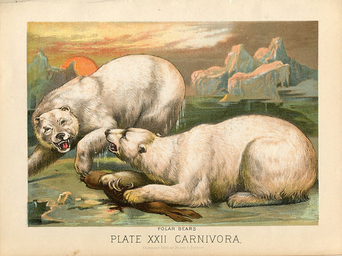 Antique Print of Polar Bears Color Lithograph 1880s Johnson's Household Book of