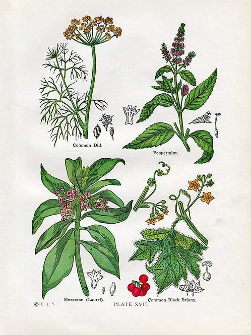 Antique Print of Medicinal and Culinary Herbs, Dill, Peppermint, Briony and Laur