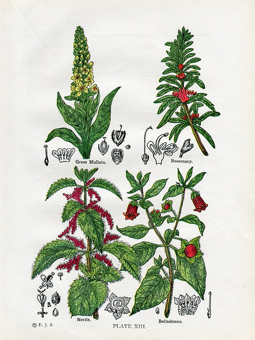Antique Print of Medicinal and Culinary Herbs, Belladonna, Nettle, Rosemary and