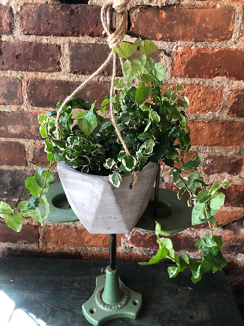 Ficus Repens Variegated Vine Plant in Faceted Cement Hanging Planter
