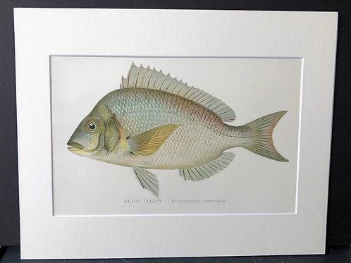 Denton Fish: Porgy