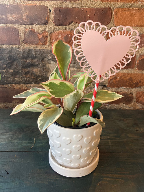 Tri-Color Peperomia Plant in White Heart Patterned Pot